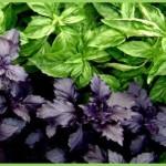 базилик, лекарственные травы
