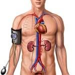 кровяное давление, организм, сосуды