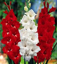 гладиолусы, цветы