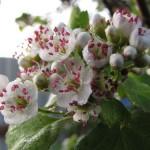 цветки боярышника, польза, народная медицина