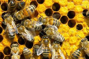 маточное молочко, мед, пчелы