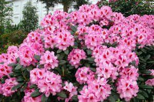 Рододендрон, цветы